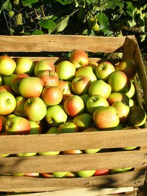 Mobile Obstpresse in St. Lorenz - Frischer Saft aus eigenem Obst
