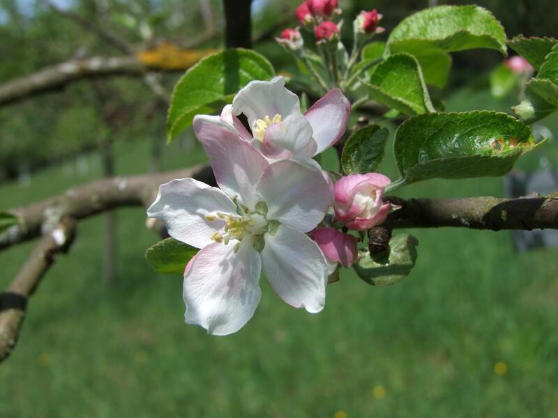 Gartenpraxis Schnitt Obstbäume