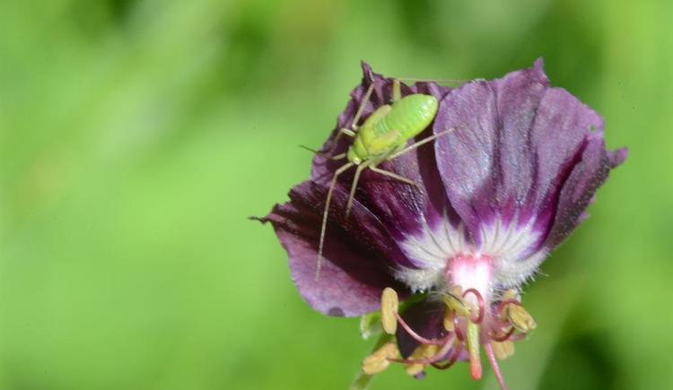 sommerblüte (© werner mair)