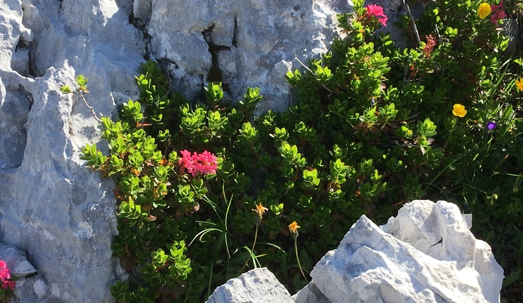 Beautiful typical plants at the Dachstein Krippenstein - alpine rose. (© Ferienregion Dachstein Salzkammergut)