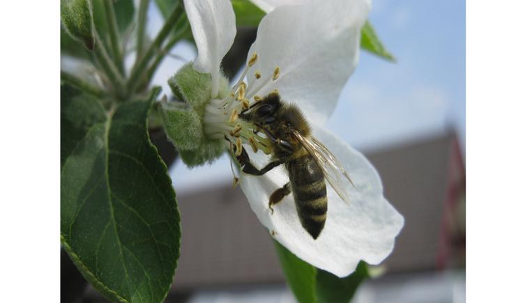 Biene in einer Blüte. (© Riedl)