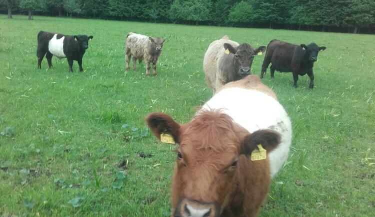 Unsere Kühe auf der Weide (© Naturhof Kronawitter)