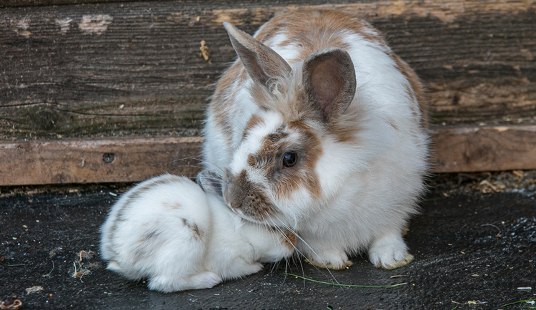 In summer, our little guests can feed the rabbits in the garden. (© Vitalhotel Gosau)