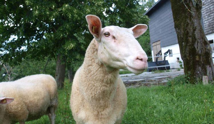 Schafe über Schafe