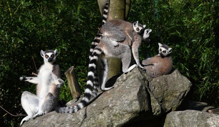 Katta (© Zoo Linz)