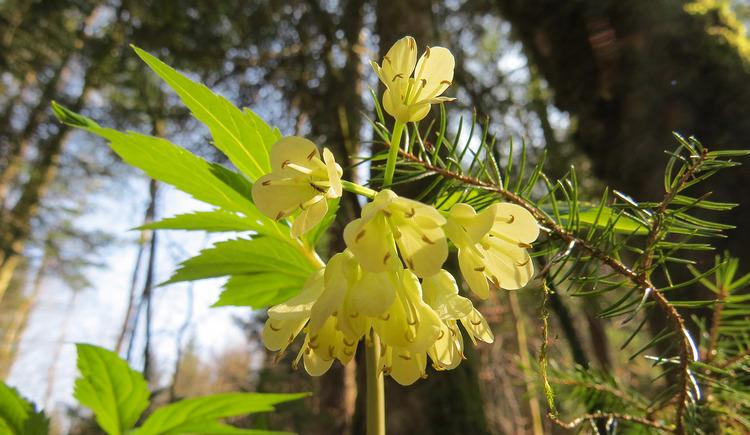 Die gelbe Blüte der quirlblättrigen Zahnwurz blüht im Frühjahr am Fuße der Drachenwand.