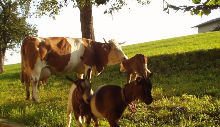 Kühe und Ziegen
