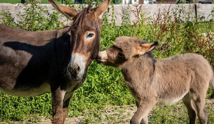 Die Eselfamilie heißt euch auch Willkommen. (© Ferienregion Dachstein Salzkammergut)