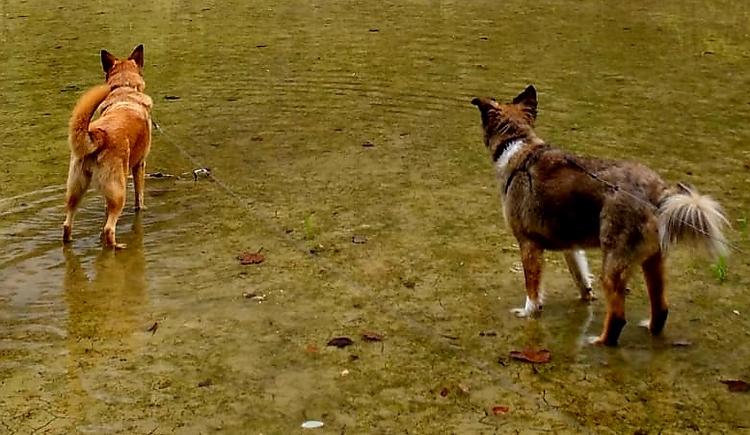 Jane und Odi, ein belgischer und ein griechischer Schäferhund spielen im Wasser. (© Schwarzlmüller Michael)