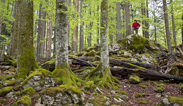 Welterbe Buchenwälder im Nationalpark Kalkalpen erleben