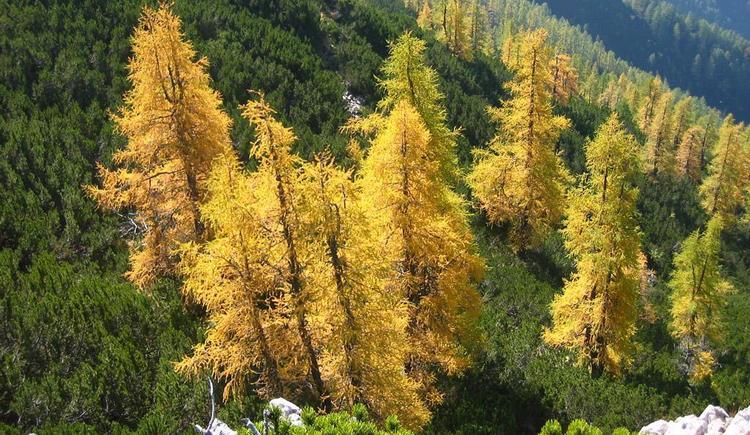 Lärchen im Herbst (© Stoderhof)