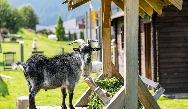 In summer our little guests can feed the goats in the garden. (© Vitalhotel Gosau)