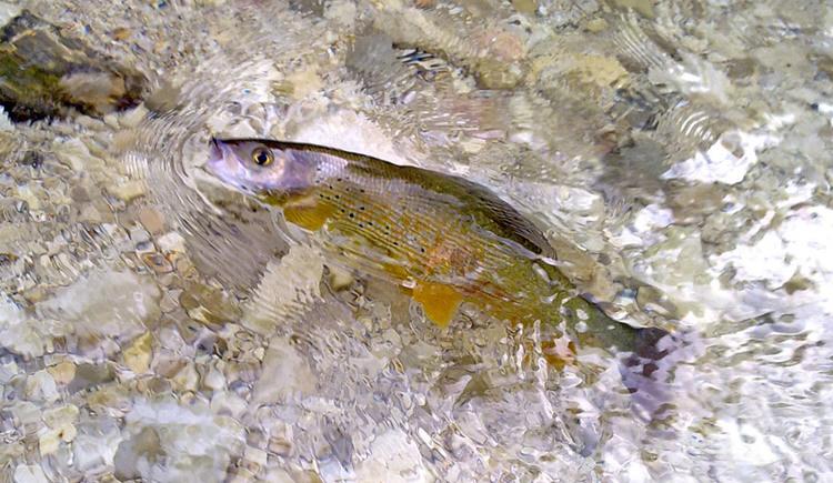 Fliegenfischen im Salzkammergut. (© Hotel Stroblerhof)