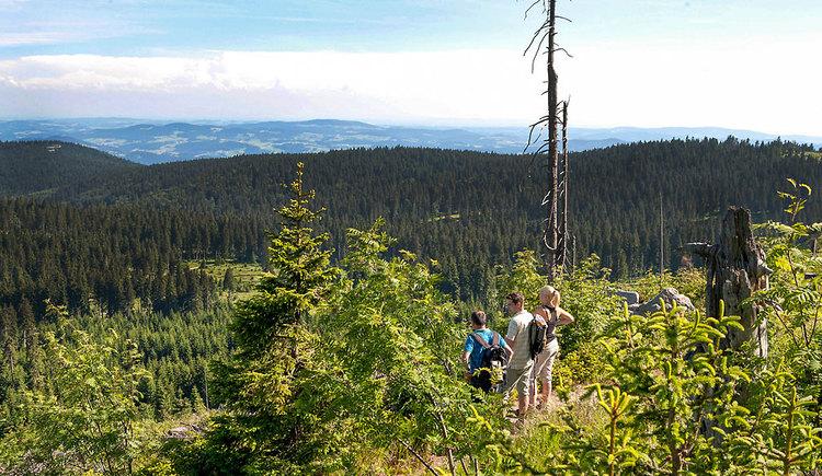 3 Personen stehen in einem Wald mit kleinen Bäumen und schauen in die Weite der Frühlingslandschaft. (© Tourismusverband Ferienregion Böhmerwald   Weissenbrunner)
