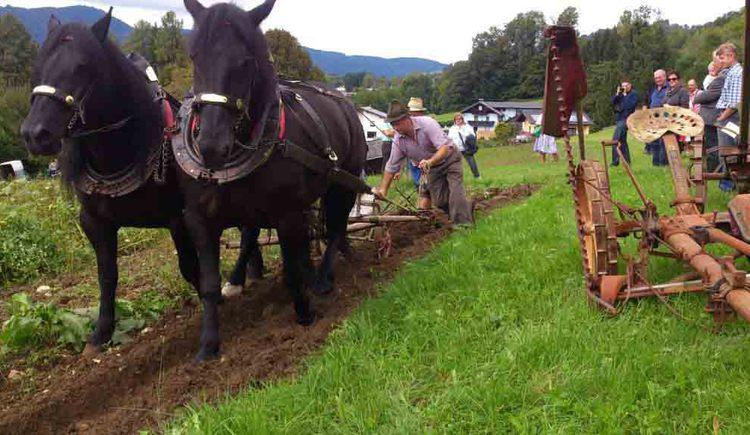Pferdegespann am Feld