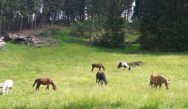 Pferde auf der Weide (© Familie Schmalzer)