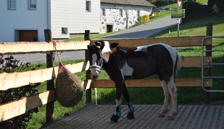 Balu unser Pony (© Isabella Ritter)