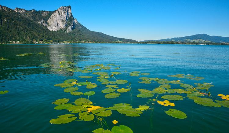 Water lilies at lake Mondsee (© Herbert Benedik)