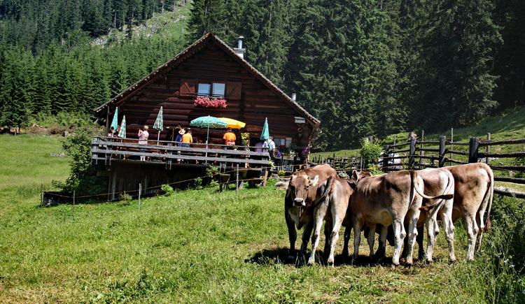 Die Alm mit Kühen im Vordergrund. (© Tourismusverband Inneres Salzkammergut)