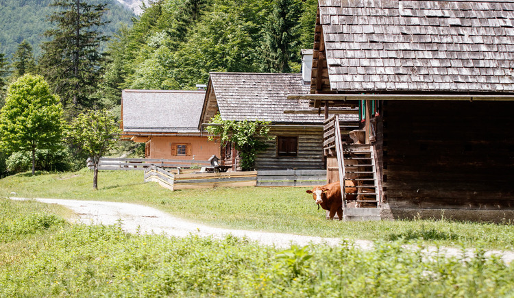 Even the cows are astonished of the Gravelbiking in the Dachstein Salzkammergut Area :-)