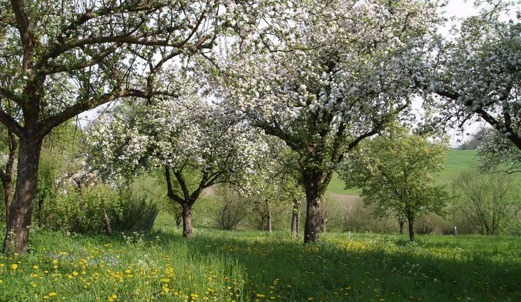 Blühende Apfelbäume (© Naturpark Obst-Hügel-Land)