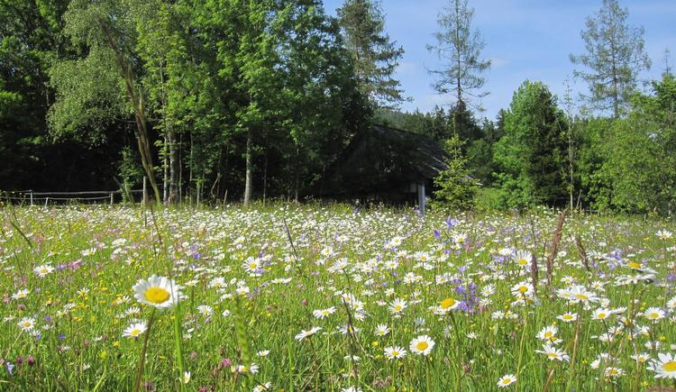 Blumenwiese (© Panhuber)
