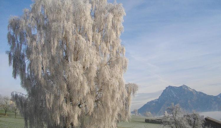 Unsere Birke in Winterpracht (© Ferienwohnung Burgi)