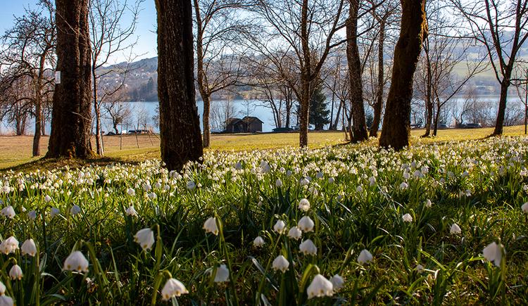 Die Frühlingsknotenblumen bedecken im Frühling die Wiesen rund um den Irrsee. (© TVB Mondsee-Irrsee)