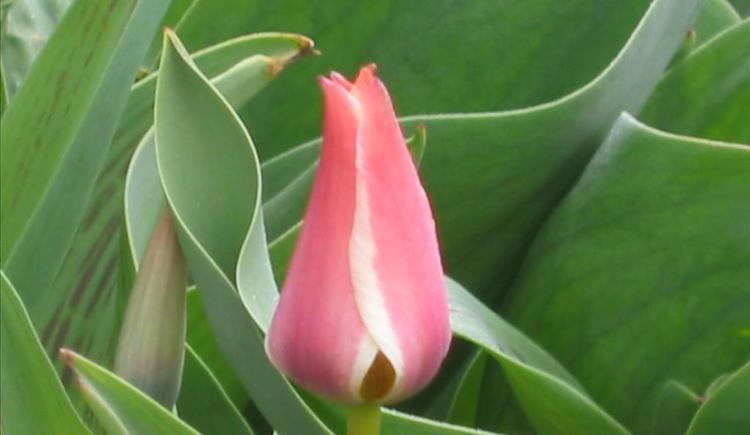 Tulpe (© Stoderhof)
