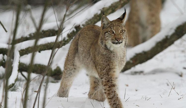 Luchs im Winter (© Wildpark Cumberland)