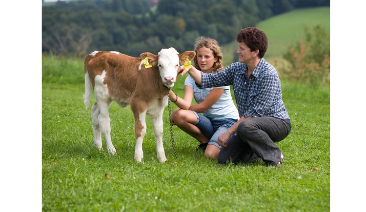 Calf on the meadow, people