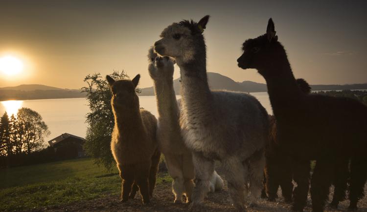 See Alpakas (© Hubert Bichler)