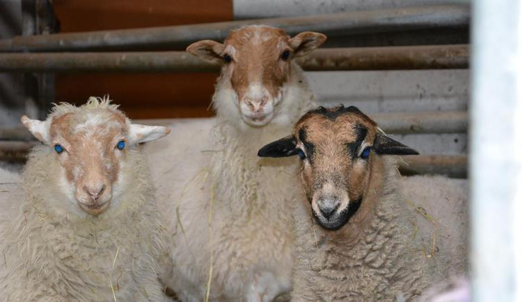 Unsere Schafe (© Wesenauerhof)