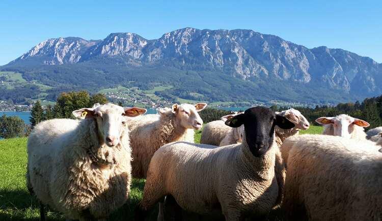 sheep. (© seekda)