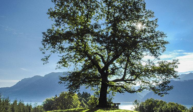 Kastanienwald Jubiläumsbaum. (© Erich Unteregelsbacher)