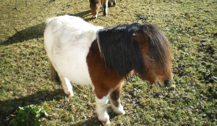 Ansicht eines Ponys. (© Ferienregion Dachstein Salzkammergut / Pilz)