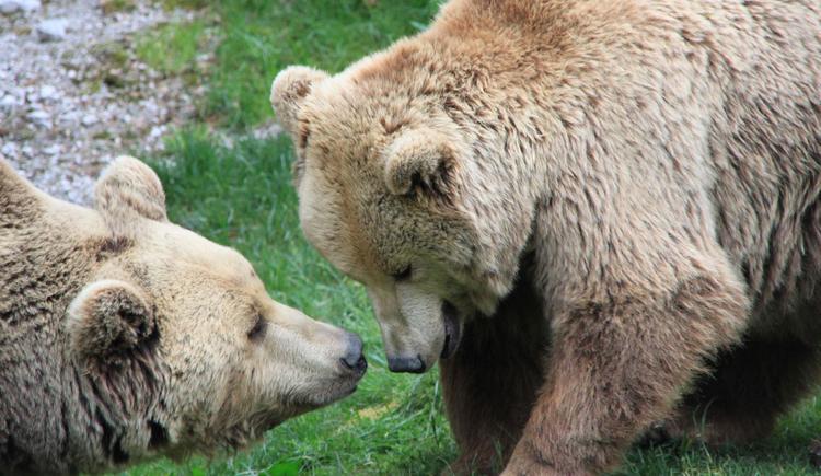 Unserer Braunbären (© Wildpark Cumberland)