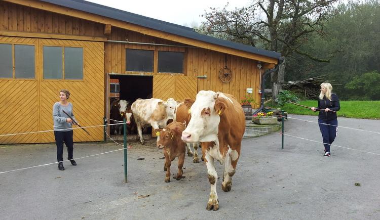 Kühe kommen auf die Weide