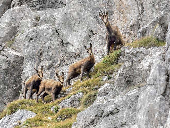 Tierisch verliebt.....Gamsbrunft im Nationalpark