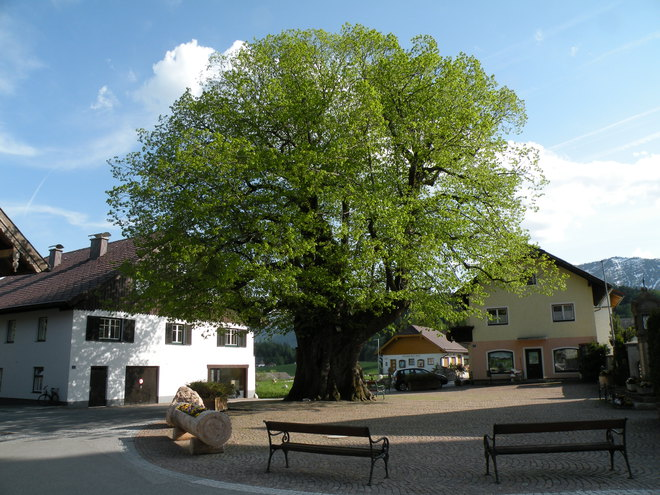 Village square with the 1000 year old linden tree