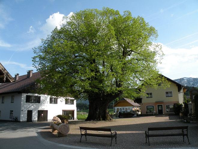 Dorfplatz mit der 1000-jährigen Linde