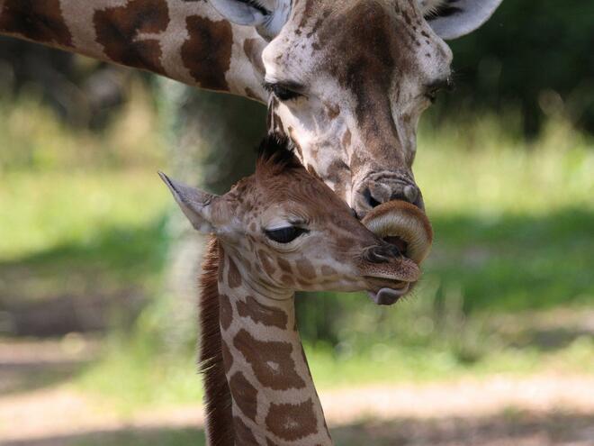 Giraffen Kuscheln