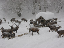 Deer Feeding in Hintersee/Lämmerbach from 1st December - 30th March 2015