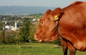 Blick auf Aschach mit Kuh im Vordergrund   © Hermann Baumgartner