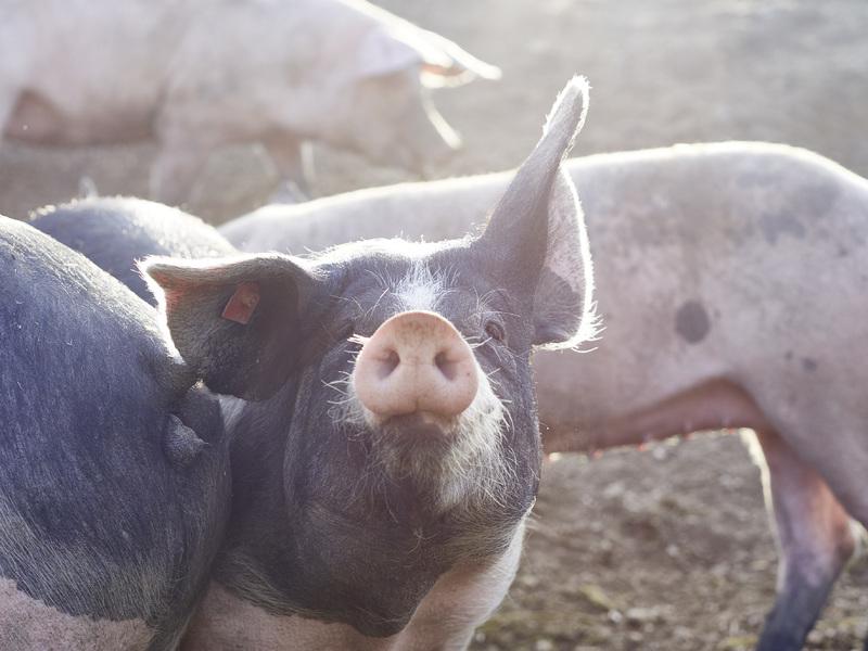 Freilandschweine, Speck-Alm, Bad Kreuzen