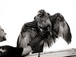 Spektakuläre Sturzflüge der Greifvögel hautnah erleben!