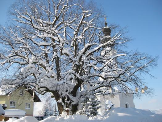 Winteransicht der 1000-jährigen Linde
