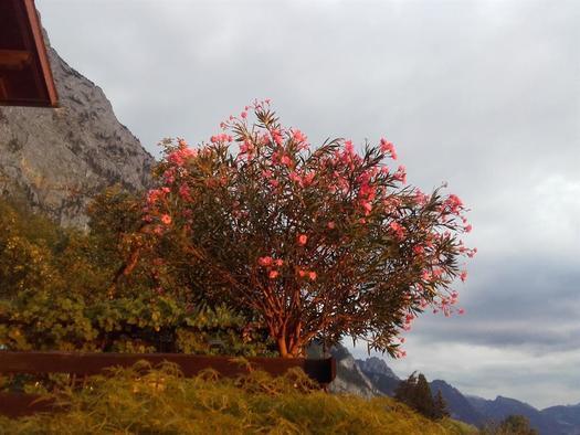 Oleander (© hr)
