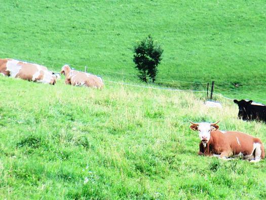 Blick auf die liegenden Kühe auf der Weide. (© Schafleitner-Kroiß)