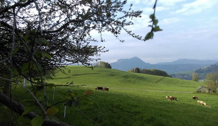 view on themeadows with cows, trees, in the background mountains\n